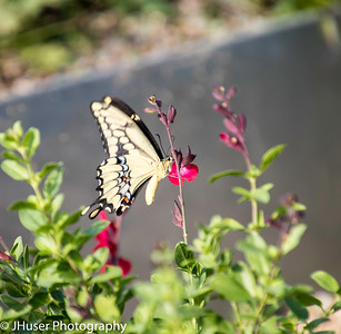 Sideview of yellow underside of the wing of Giant Swallowtail butterfly on a red flower