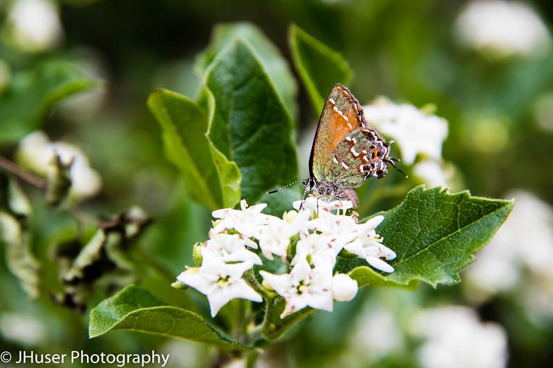Juniper Hairstreak butterfly on Bluets flowers
