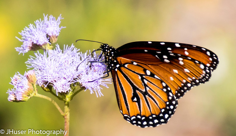 Pollen covered busy Queen butterfly