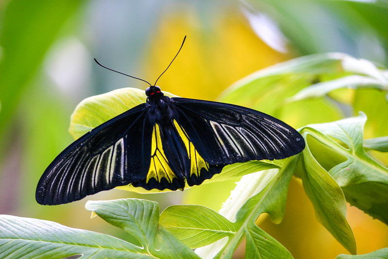 Closeup of a black, yellow and white butterfly sitting on yellow flower