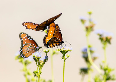 Closeup of Queen Butterflies flying and perched on flowers