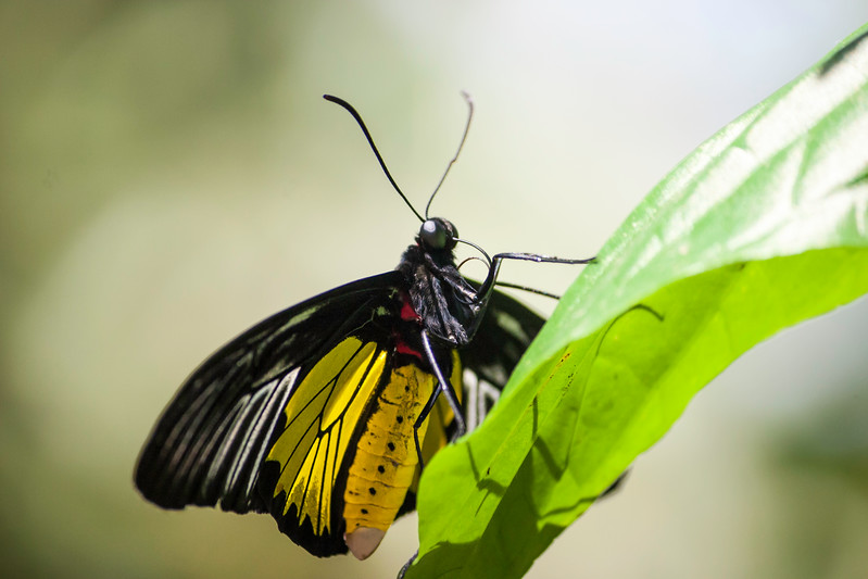 Closeup underside view of yellow and black butterfly on green leaf