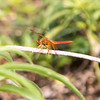 Closeup sideview of a red Flame Skimmer Dragon Fly