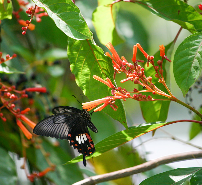 Closeup of a Red and black Swallowtail butterfly on orange flower