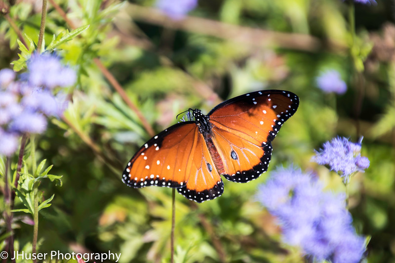 One orange and black Soldier Monarch butterfly sitting on purple flower