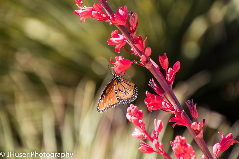 Sideview of orange and black Queen Monarch butterfly feeding on red flower