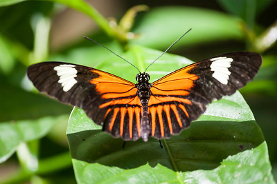 Closeup of an orange, black and white Longwing Butterfly on green leaf