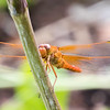 Closeup of a Red Flame Skimmer Dragon Fly facing the camera