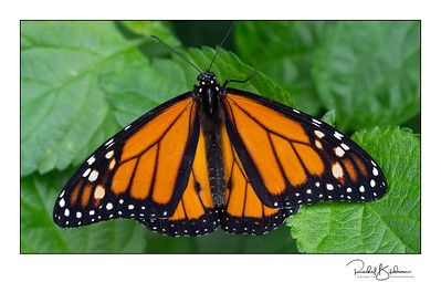 butterflies-190302_EM-10-P3028222-denoised and signed