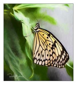 butterflies-190302_EM-5-M5028646-georgia II and sig