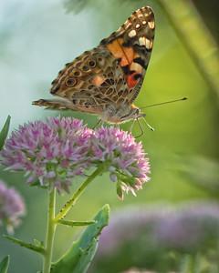 Sideyard Butterflies-1-20