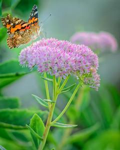 Sideyard Butterflies-1-8