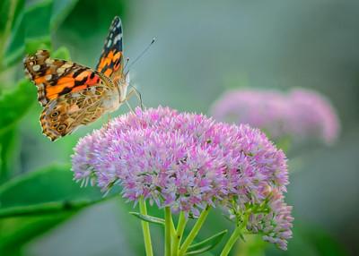 Sideyard Butterflies-1-9