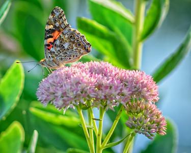 Sideyard Butterflies-1-15