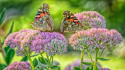 Sideyard Butterflies-1-3