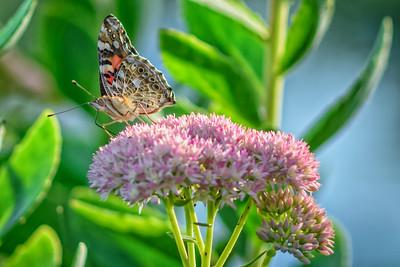 Sideyard Butterflies-1-14