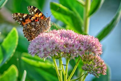 Sideyard Butterflies-1-13