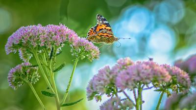 Sideyard Butterflies-1-12