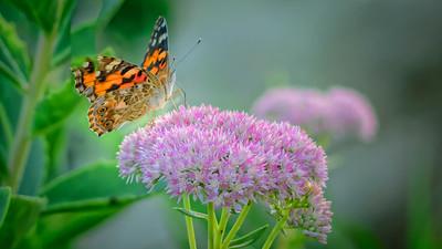 Sideyard Butterflies-1-10