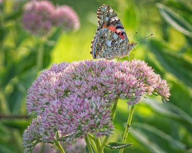 Sideyard Butterflies-1-22