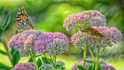 Sideyard Butterflies-1-4