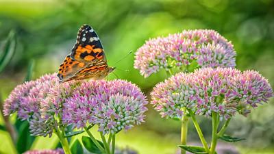 Sideyard Butterflies-1-2