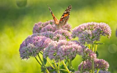 Sideyard Butterflies-1-21