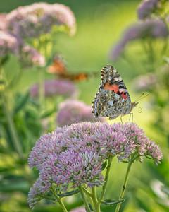Sideyard Butterflies-1-25