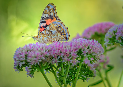 Sideyard Butterflies-1-11