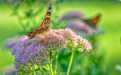 Sideyard Butterflies-1-28