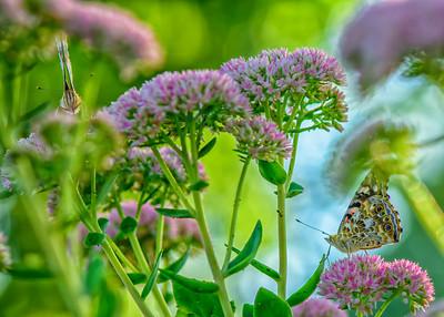 Sideyard Butterflies-1-18