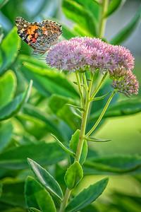 Sideyard Butterflies-1-17