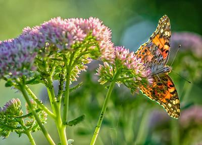 Sideyard Butterflies-1-27