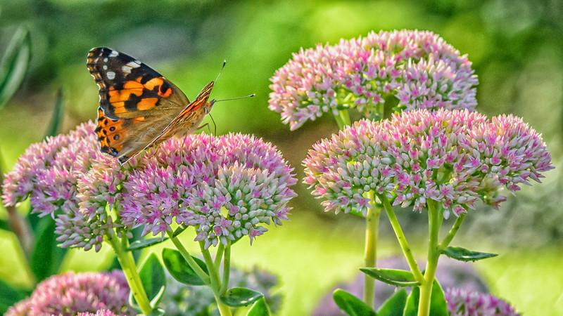 Butterflies on Sedum Plant
