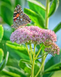 Sideyard Butterflies-1-16