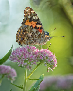 Sideyard Butterflies-1-19