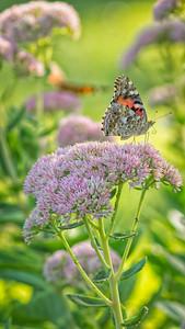 Sideyard Butterflies-1-26