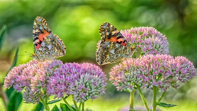 Sideyard Butterflies-1-5