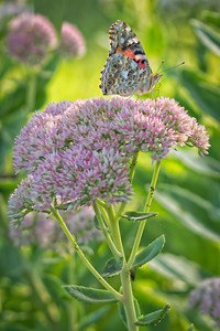 Sideyard Butterflies-1-23