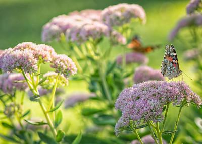 Sideyard Butterflies-1-24