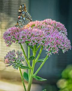 Sideyard Butterflies-1-6