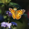 American Lady Butterfly