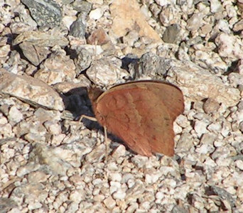 Tropical Buckeye,  Jens Wash, Awatookee, AZ, nov 20 2006 007