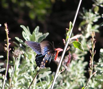 Pipevine Swallowtail, Boyce Thompson Arboretum, Superior, AZ