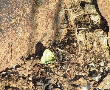 Dainty Sulphur, Jenny's Wash, Awatookee, AZ nov 23, 2006 013