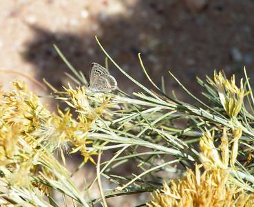 Reakirt's Blue, San Pedro Riparian Area, AZ nov 25, 2006 0