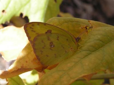 Cloudless Sulphur, female, Sycamore Creek, Sunflower, AZ, nov 30, 2006 084