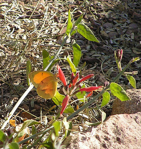 Sleepy Orange, Boyce Thompson Arboretum, Superior, AZ, Nov 21, 2006b