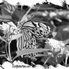 fr-bw-paperkite-bfly-stlz-DSC09280