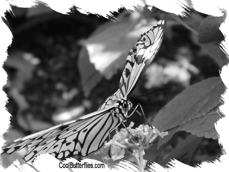 fr-bw-paperkite-bfly-stlz-DSC09291